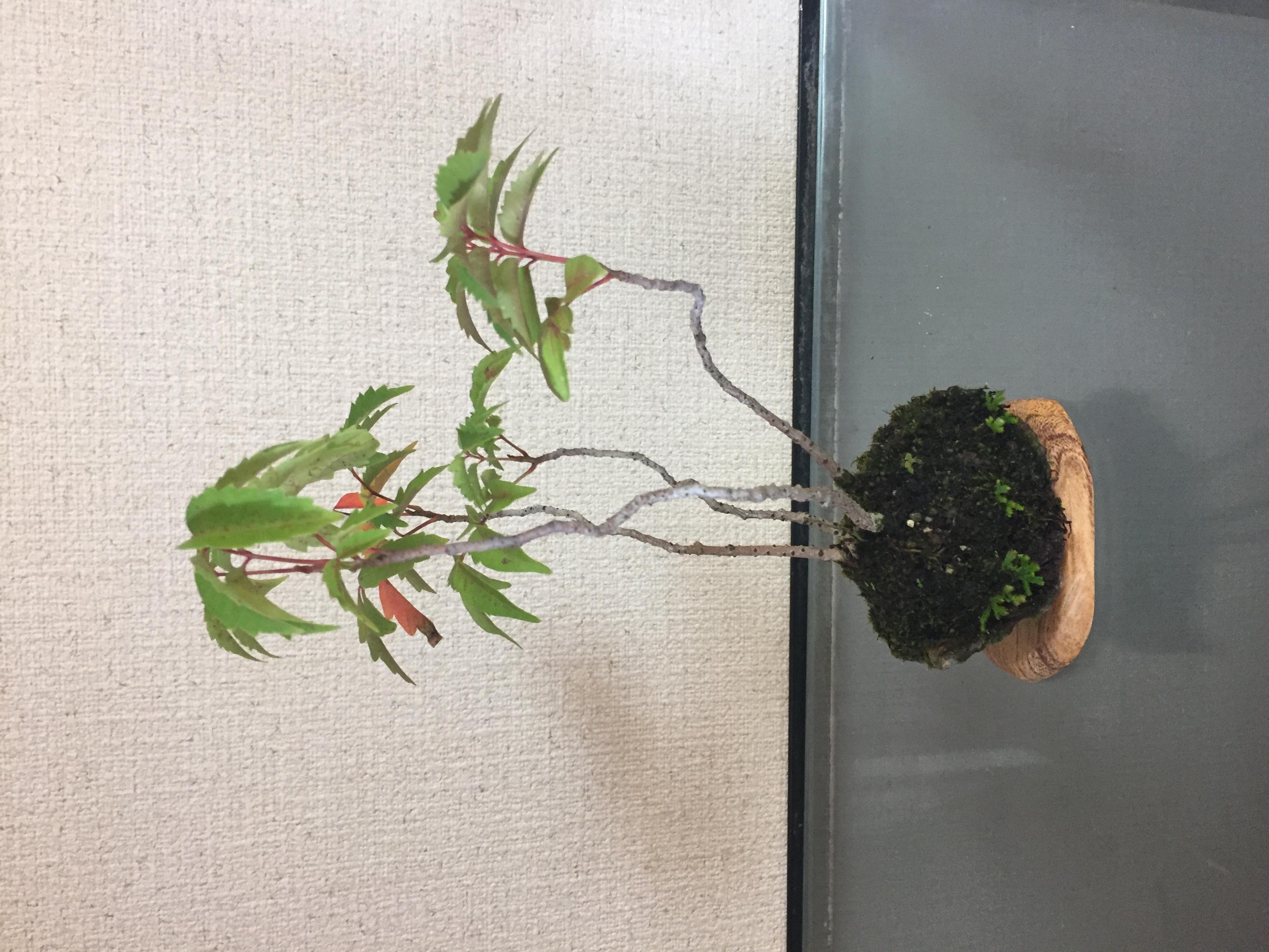 成彦 Shigehiko 盆栽 Bonsai / ハゼ