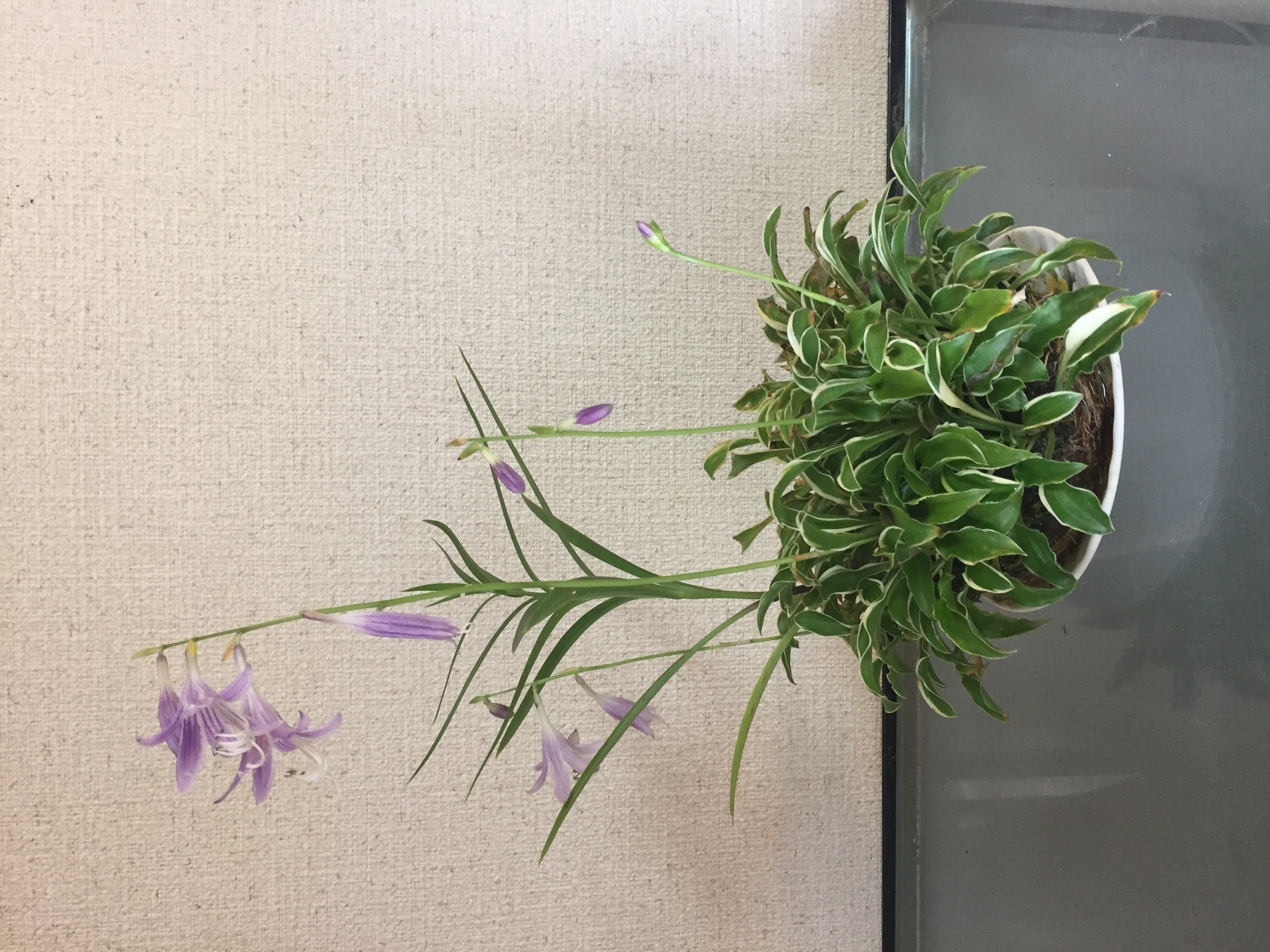 成彦 Shigehiko 盆栽 Bonsai / ギボウシ 斑入り