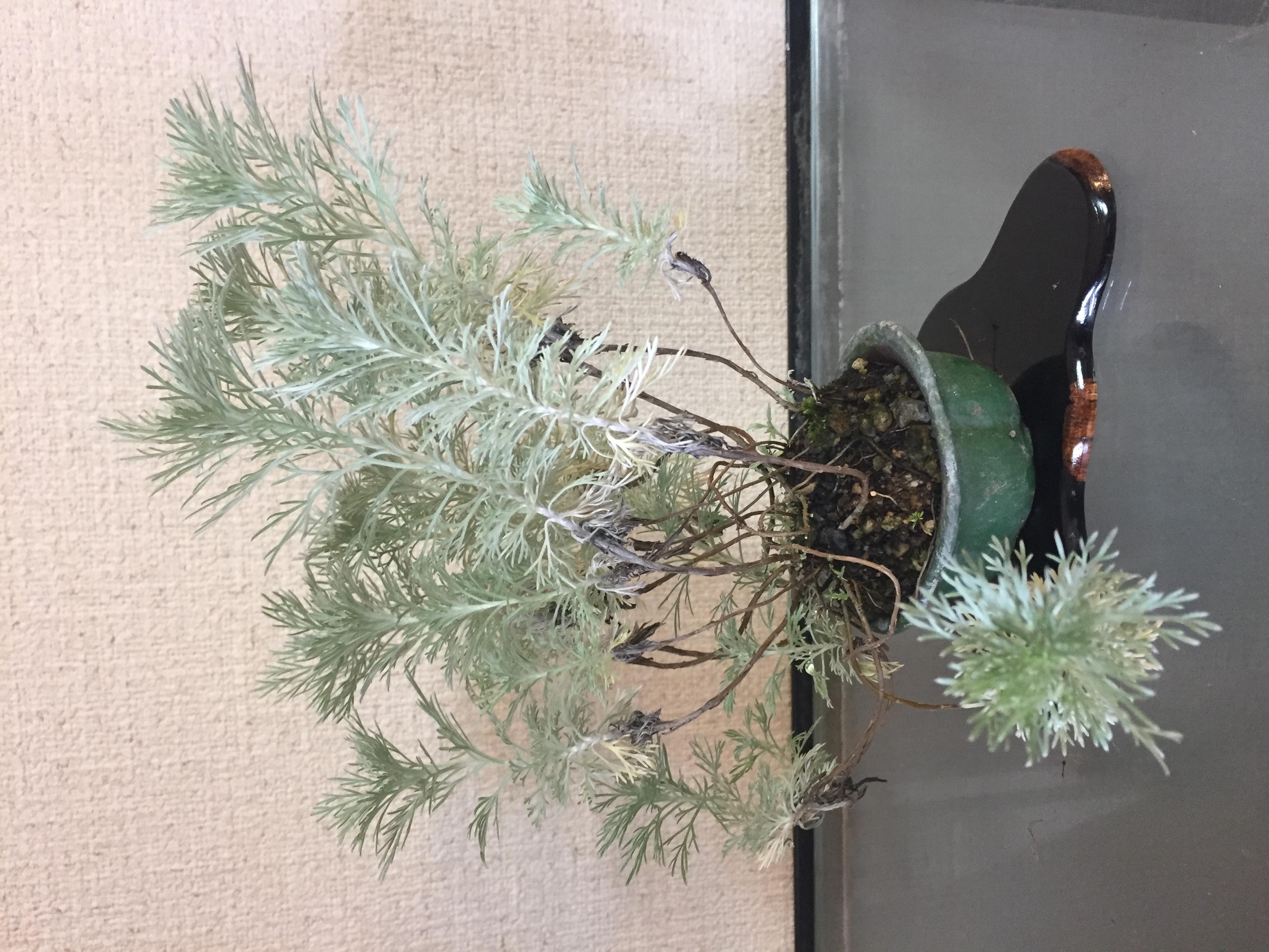 成彦 Shigehiko 盆栽 Bonsai / クモキリソウ
