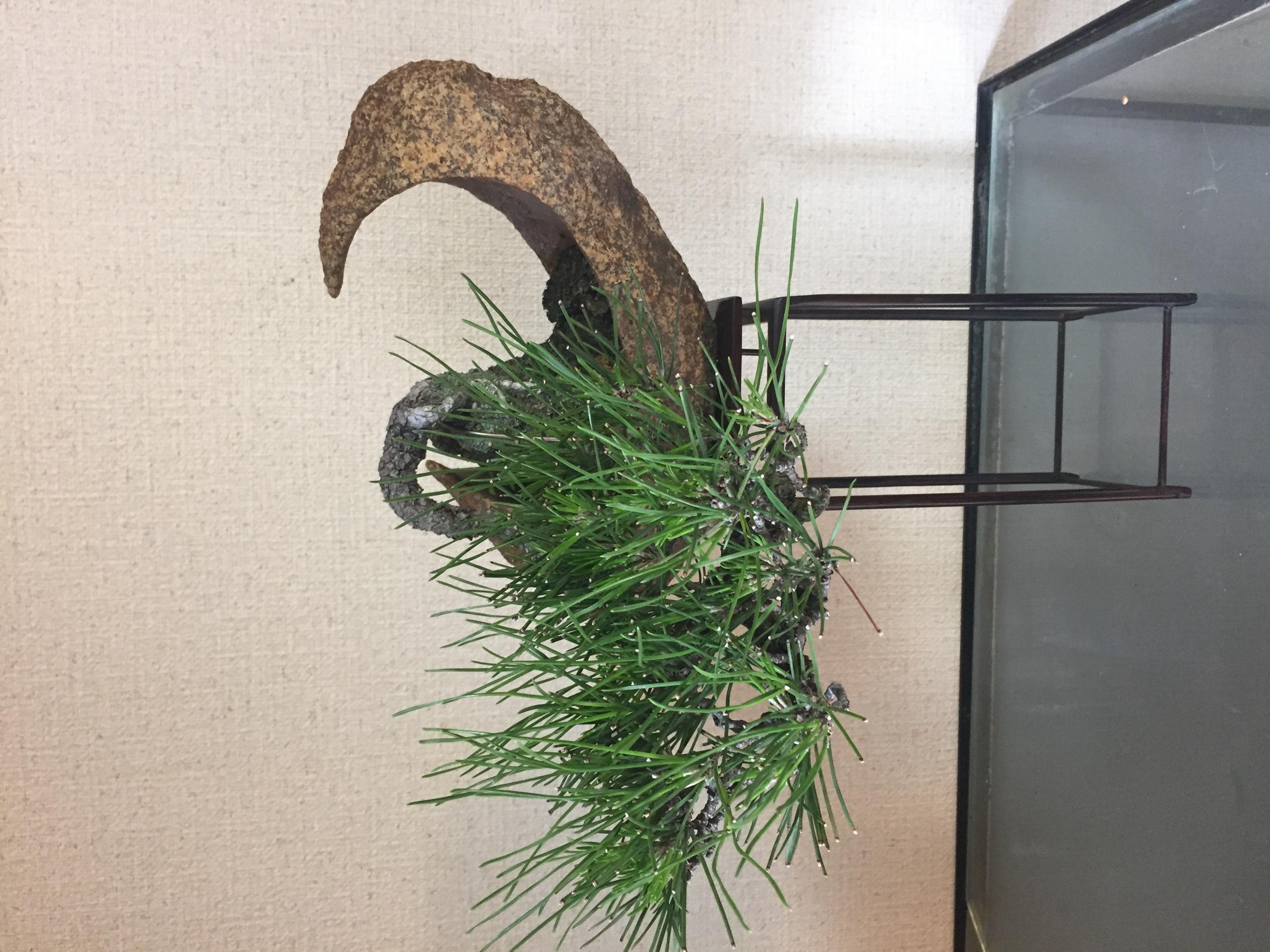 成彦 Shigehiko 盆栽 Bonsai / 黒松 クロマツ 鞍馬石