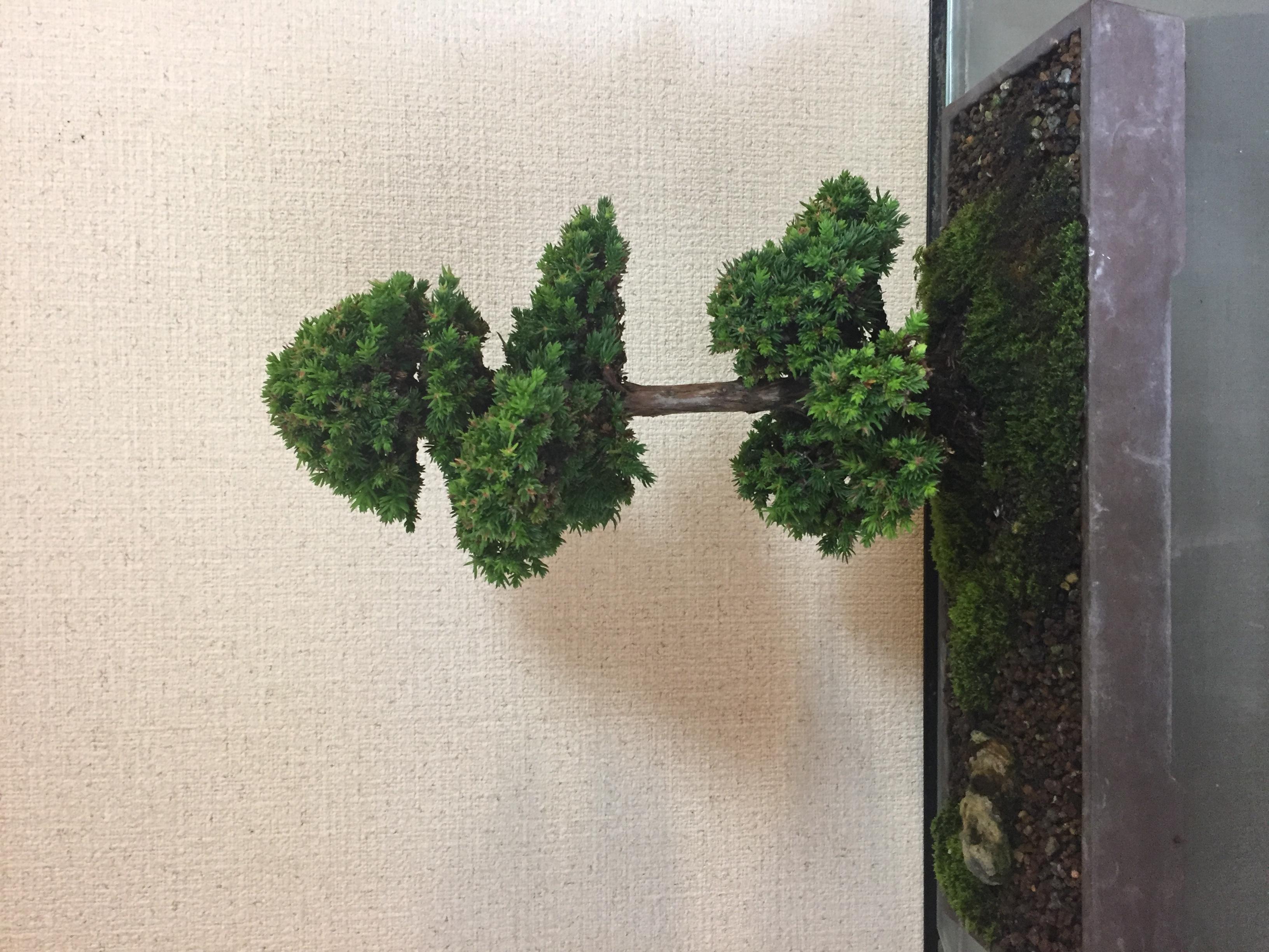 成彦 Shigehiko 盆栽 Bonsai / 杉 スギ
