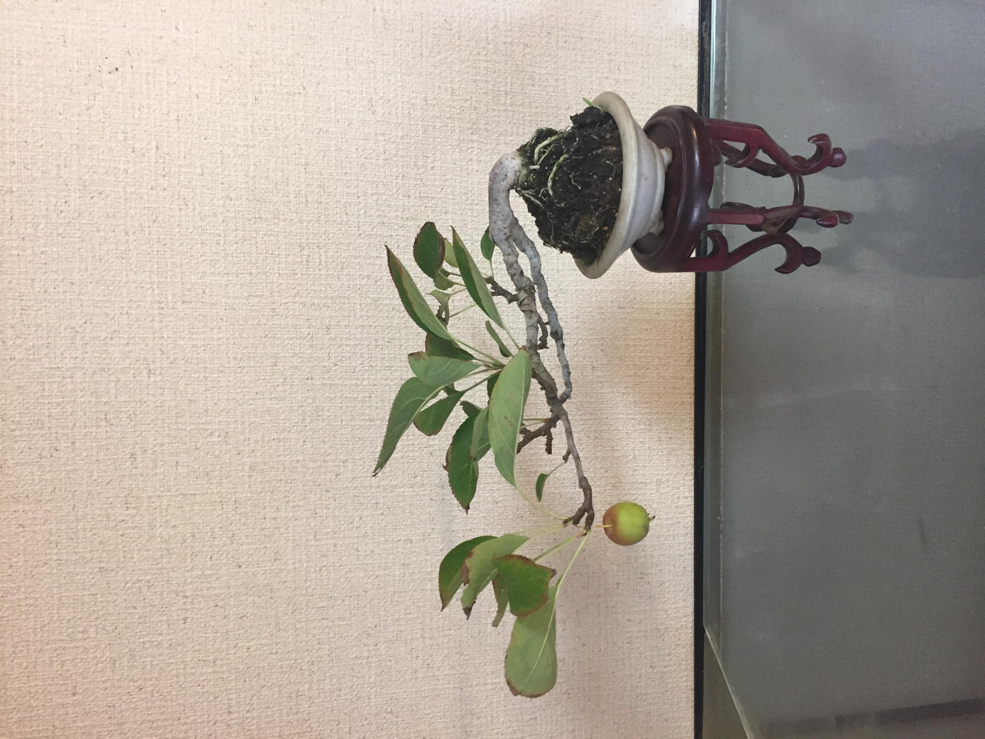成彦 Shigehiko 盆栽 Bonsai / ひめりんご