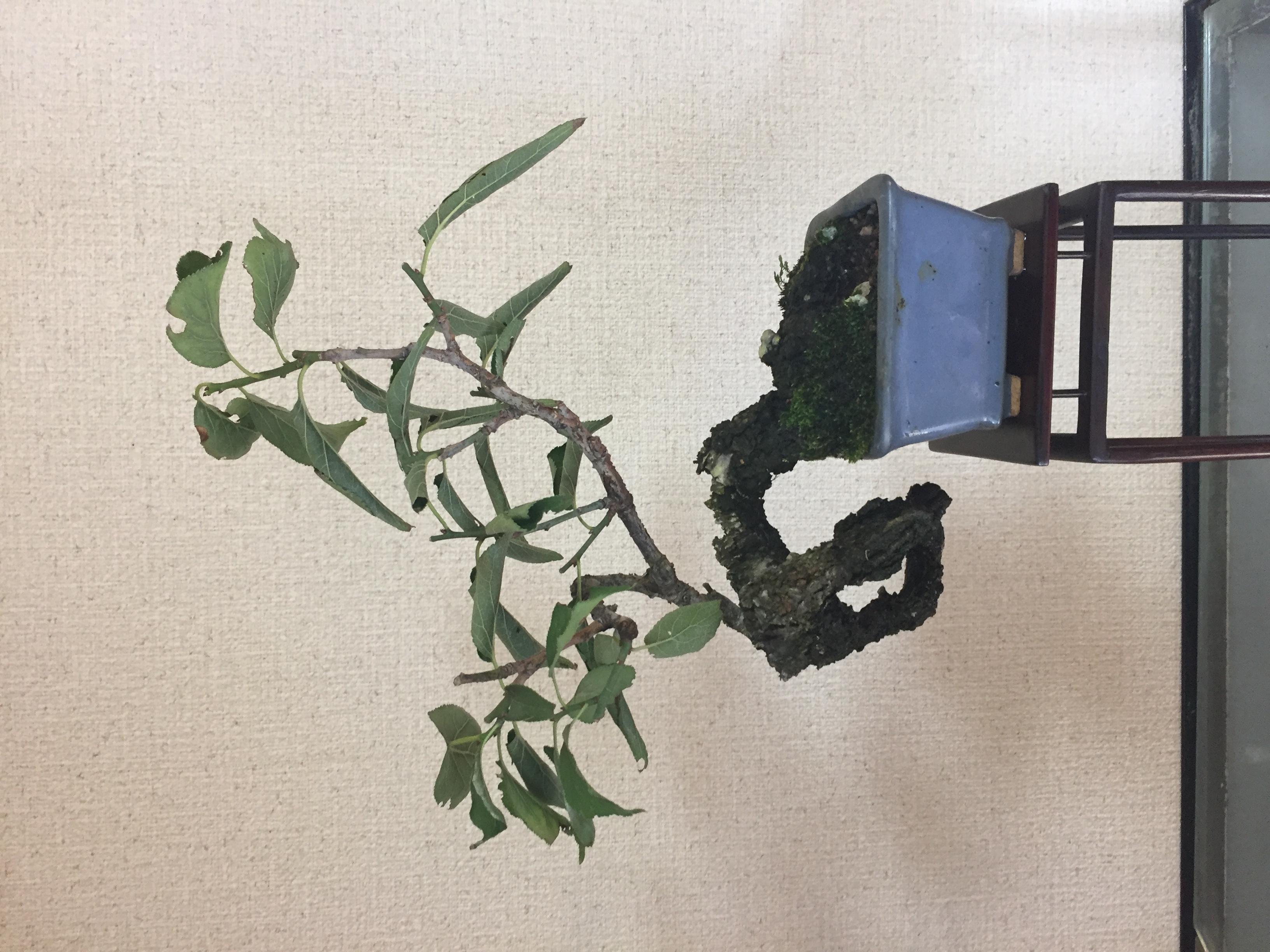 成彦 Shigehiko 盆栽 Bonsai / 野梅 ノウメ