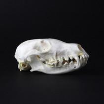 Crâne de renard  Réservé Prix : 70€ Réf : OS320  Envoi possible, frais de port en sus