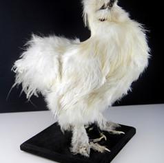 Taxidermie d'une poule soie blanche  DISPONIBLE Prix : 250€ Réf : TAXI255  Possibilité de régler en 2 fois
