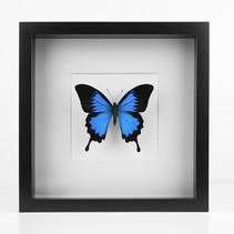 """Papilio ulysses d'Indonésie  Dimensions : 27x27cm  DISPONIBLE uniquement à la boutique """"Le Terrier"""" à Strasbourg (6 rue du Coq) Prix : 100€ Réf : ENTO437"""