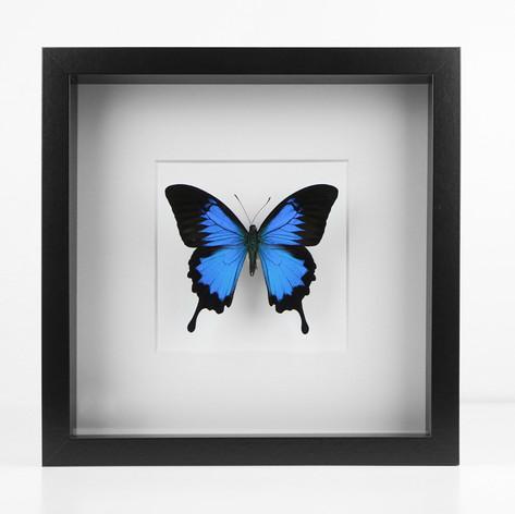Papilio ulysses d'Indonésie  Dimensions : 27x27cm  DISPONIBLE Prix : 100€ Réf : ENTO437  Envoi possible, frais de port en sus
