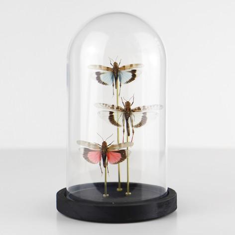 Sauterelles Françaises (Sud de la France)  Dimensions : avec socle H19 D11cm  DISPONIBLE Prix : 60€ Réf : ENTO289