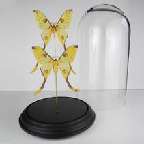 Couple Argema mittrei de Madagascar sous cloche  Dimensions avec socle : H50xD27cm  DISPONIBLE Prix : 325€ Réf : ENTO332