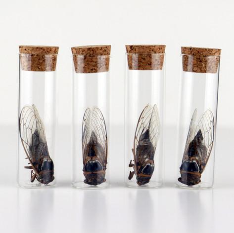 Cigales présentées dans des tubes en verre  DISPONIBLES Prix : 15€ pièce Réf : ENTO411  Envoi possible, frais de port en sus
