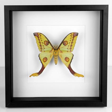 """Grand papillon de Madagascar, Argema mittrei  DISPONIBLE uniquement à la boutique """"Le Terrier"""" à Strasbourg (6 rue du Coq),  en Click & Collect, voir le lien ci dessous ou directement à la boutique physique Prix : 250€ Réf : ENTO383"""