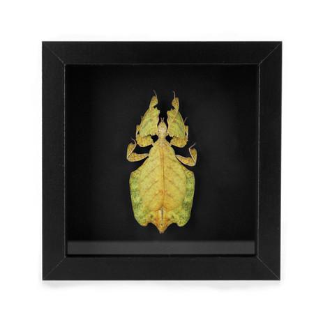 Phasme feuille jaune sous cadre  Dimensions : 15x15cm  DISPONIBLE Prix : 85€ Réf : ENTO367  Envoi possible, frais de port en sus
