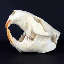 Crâne de Castor Canadensis (Canada)  Photo non contractuelle  Prix à l'unité 75€ Quantité : 2 Réf : OS316  Envoi possible, frais de port en sus