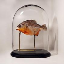 Piranha sous cloche  Dimensions : H40 L30 P15cm  DISPONIBLE Prix : 290€ Réf : TAXI204  Possibilité de régler en 2 fois