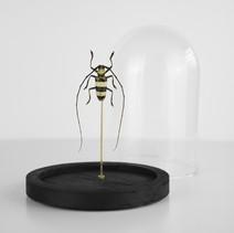 Nemophas bicinctus d'Indonésie sous cloche  Dimensions avec socle :  H15 D10cm  DISPONIBLE Prix : 80€ Réf : ENTO369