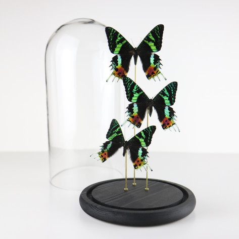 Urania ripheus de Madagascar  Dimensions : H30 D13cm  DISPONIBLE Prix : 150€ Réf : ENTO282  Envoi possible, frais de port en sus