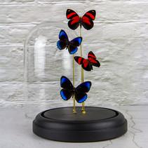 Callicore cynosura et Eunica alcmena flora du Pérou  DISPONIBLE sur demande car la cloche est exposée dans un cabinet vétérinaire Prix : 160€ Réf : ENTO463