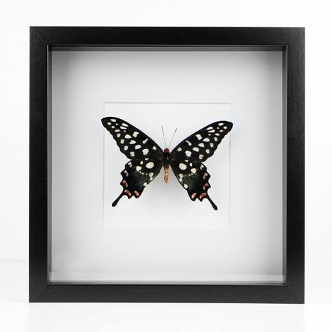 Papilio antenor d'Indonésie  Dimensions : 27x27cm  DISPONIBLE Prix : 100€ Réf : ENTO437  Envoi possible, frais de port en sus
