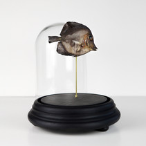 Poisson Zebrasoma scopas d'Indonésie  Dimensions avec socle : H29 D18cm  DISPONIBLE Prix : 130€ Réf : TAXI231  Envoi possible, frais de port en sus