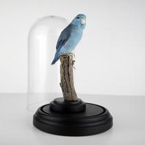 Magnifique Toui céleste bleu baggué (Forpus coelestis) sous cloche  Dimensions : H25x14cm  DISPONIBLE Prix : 230€ Réf : TAXI206  Possibilité de régler en 2 fois Envoi possible, frais de port en sus