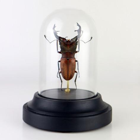 Cyclommatus alagari sous cloche  Dimensions avec socle : H12x6cm  DISPONIBLE Prix : 45€ Réf : ENTO427  Envoi possible, frais de port en sus