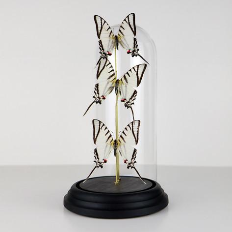 Envolée Eurytides protesilaus   Dimensions (hauteur avec socle) : 31,5x11cm  DISPONIBLE Prix : 170€ Réf : ENTO407  Envoi possible, frais de port en sus