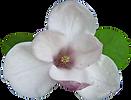 magnolia-05_edited.png