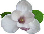 magnolia-05.png