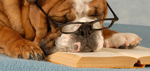 bull dog wearing glasses reading a book