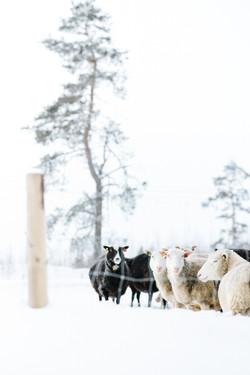 tiisanmäen_lammastila_jaana_komulainen_