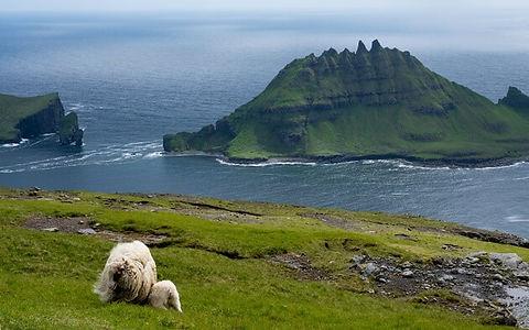 Tindhólmur sheep Reika Adventures Faroe Islands
