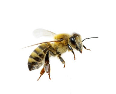 Bees, Wasp, or Hornets