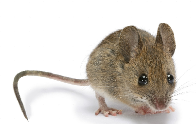 Mice or Rats