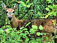 3 Cindy Friesen-Ford Ashurst_Doe A Deer