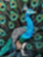 Peacock Pride 3 (3).JPG