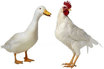 chicken-and-duck-rehoming-5508536454bab