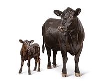 cattle_lifestage_cow-calf.png