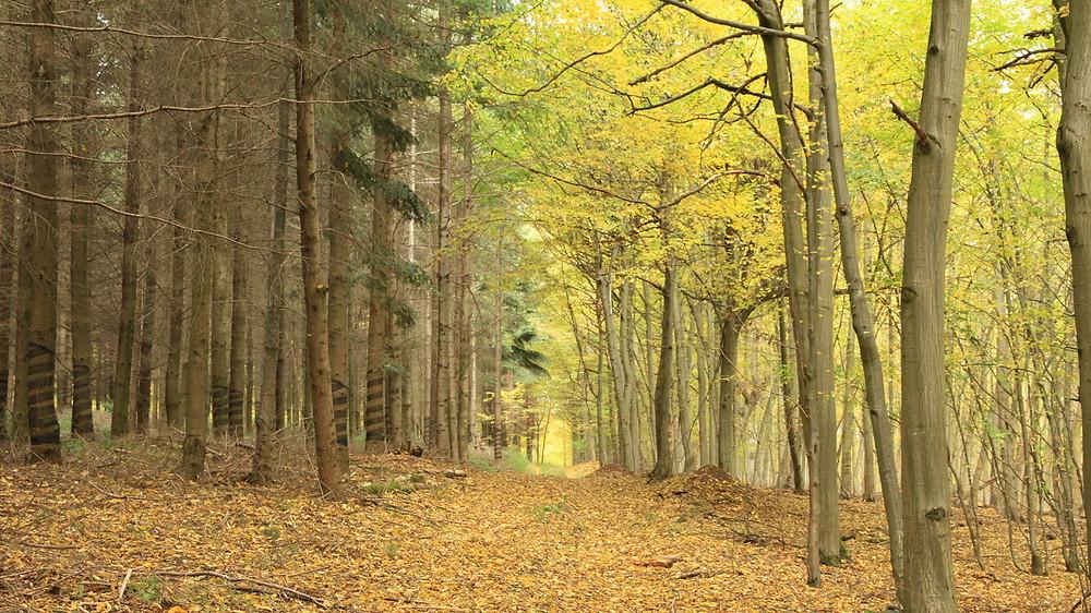 Direkt an der Grenze zum Nationalpark Thayatal ist erkennbar, wie sehr der Mensch in die Zusammensetzung des Waldes eingegriffen hat.