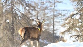 Wildökologische Regionalplanung Gerlitzen - Mirnock