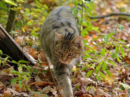 Wildkatzenforschung