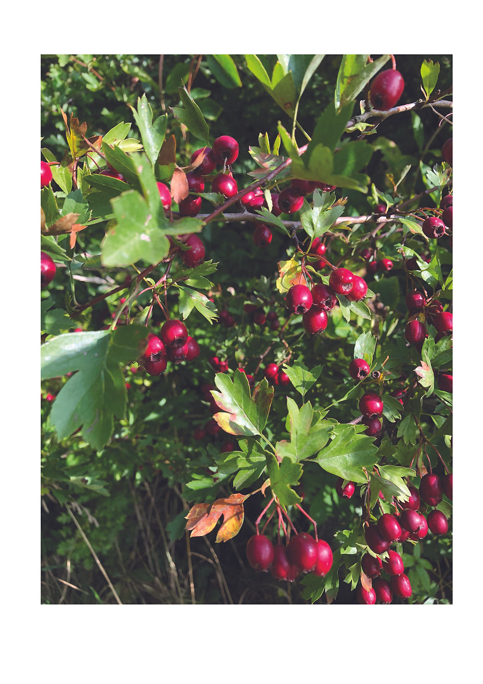 phot of berries.jpg