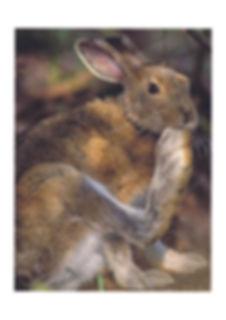 Nibbiling Hare image.jpg