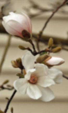 magnolia 1 up.jpg