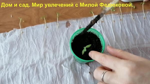 Посев семян в самокрутки