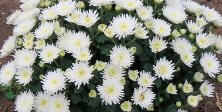 "Хризантема мультифлора белая ""Branbeach White"