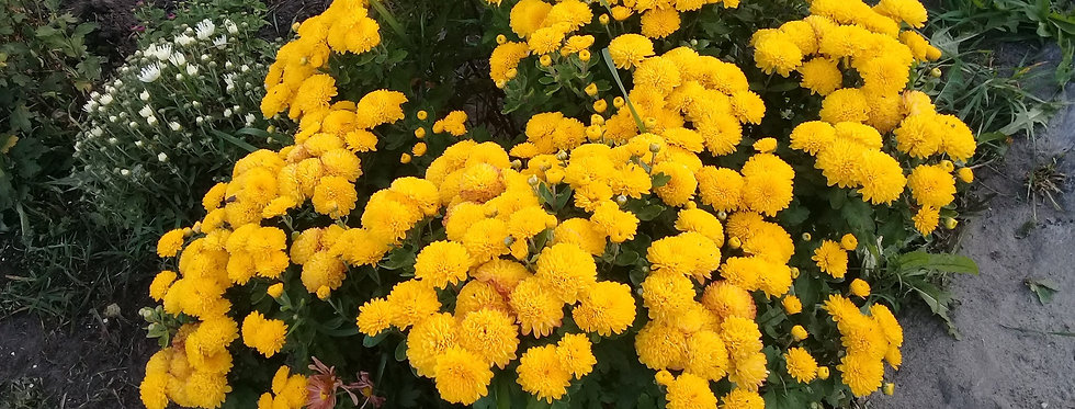 Хризантема мультифлора желтая