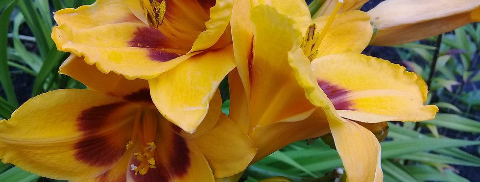 Лилейник. Многолетний цветок. Корни-клубни.