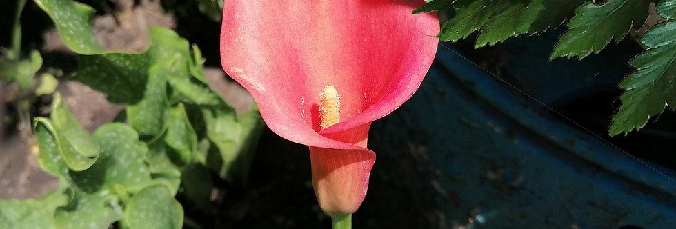 Копия Калла розово-красная
