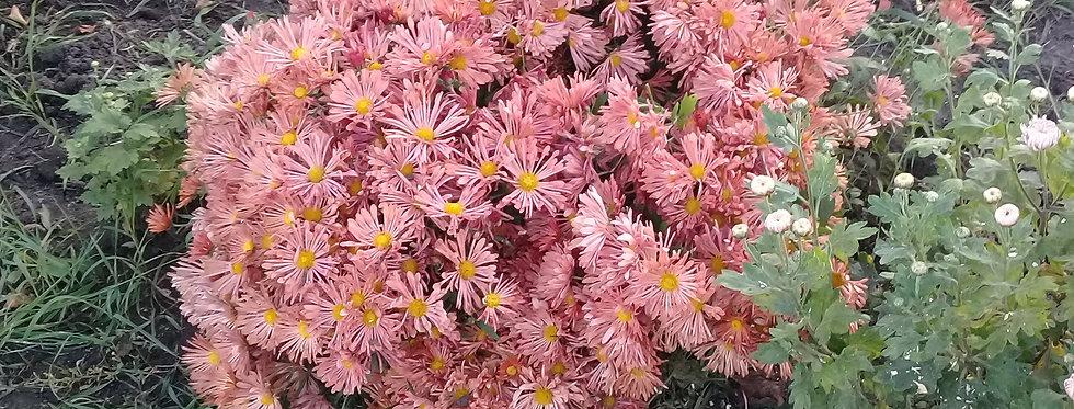 Хризантема мультифлора (шарообразный куст)