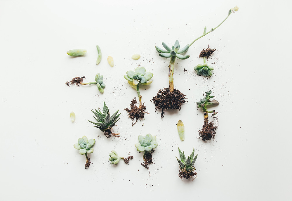 Succulent plants propagated from leaves